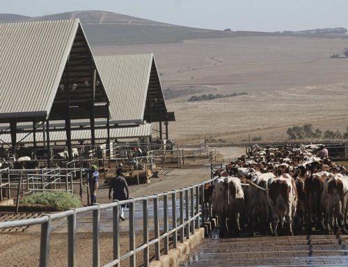 The Fairest Fair Cape aka My trip to the dairy farm